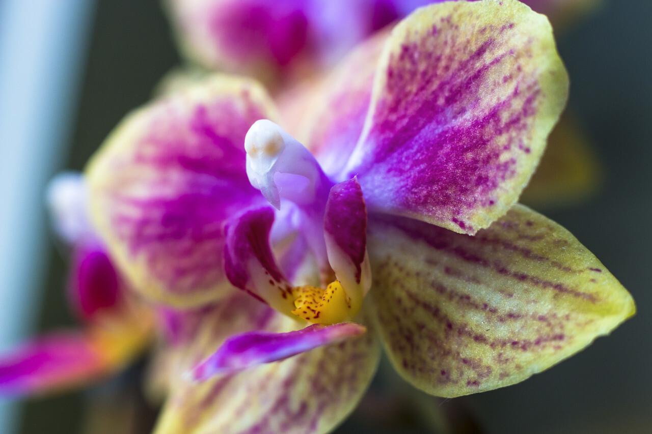 purple yellow orchids blossom macro