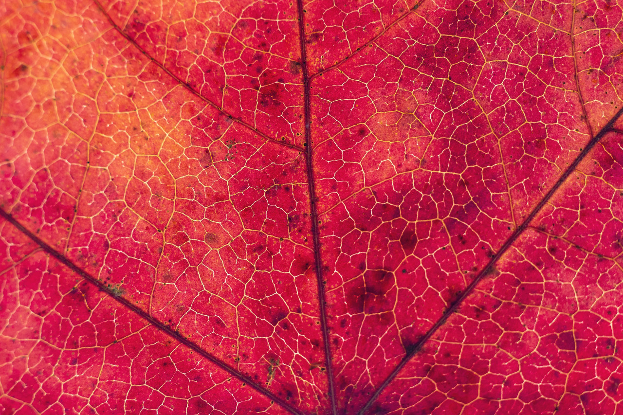 red leaf macro abstract background
