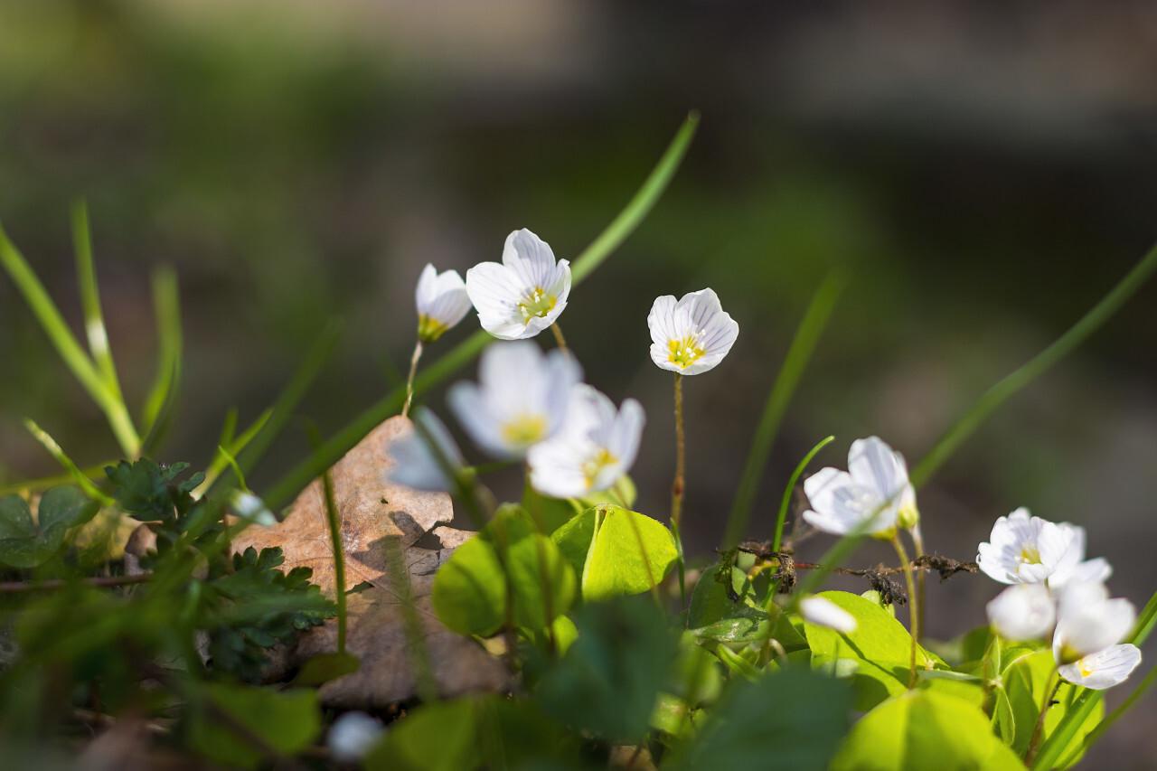 Common Wood Sorrel, Oxalis acetosella, flower macro with leaves