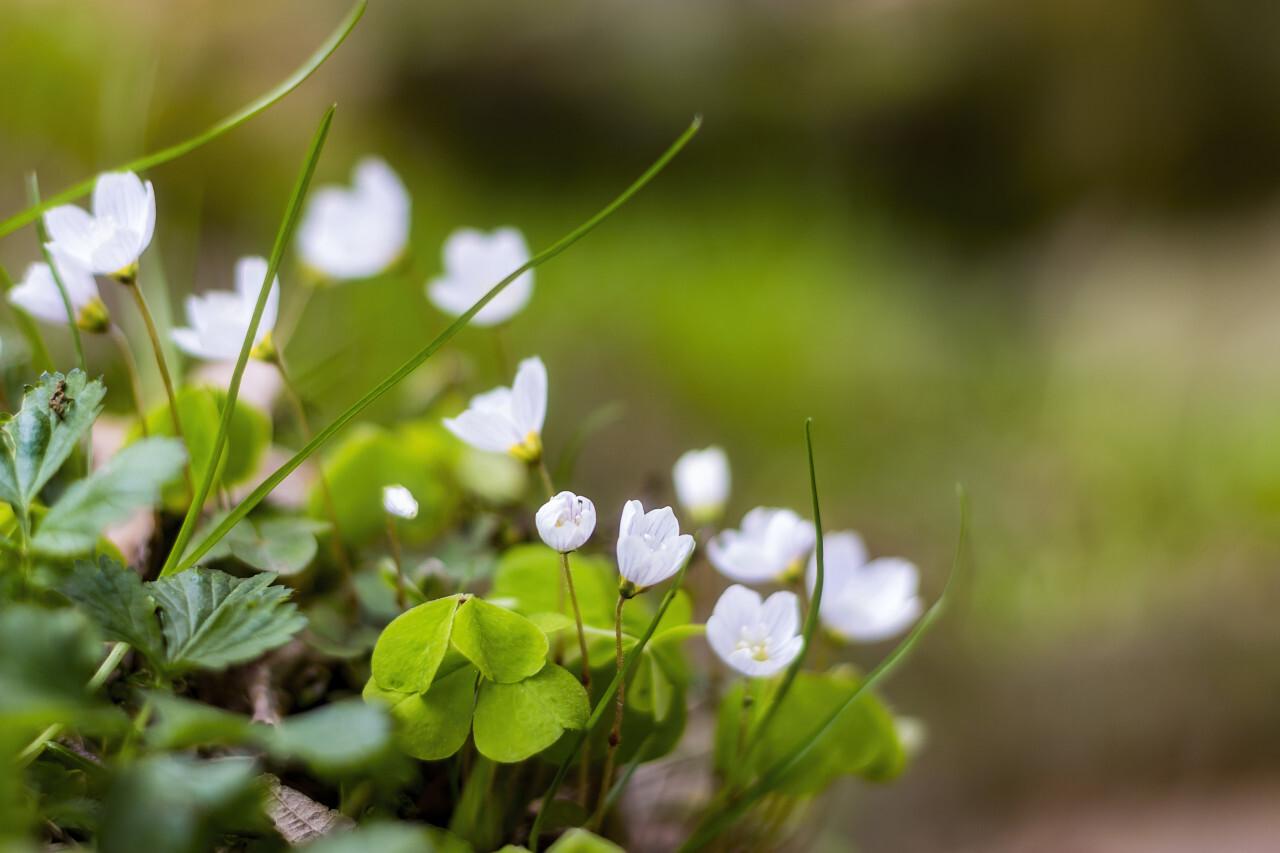 sorrel white spring flowers