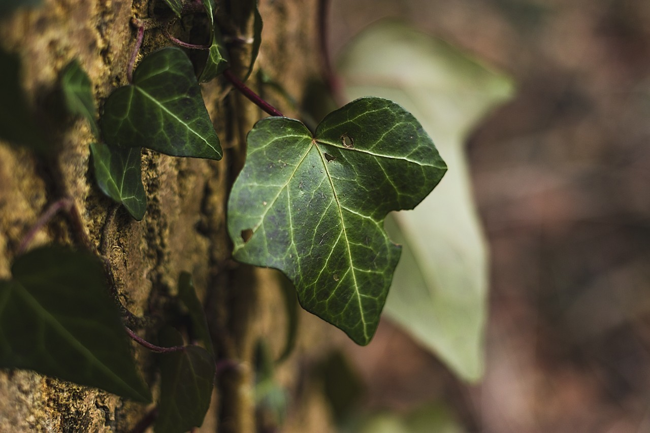 ivy climbs a tree