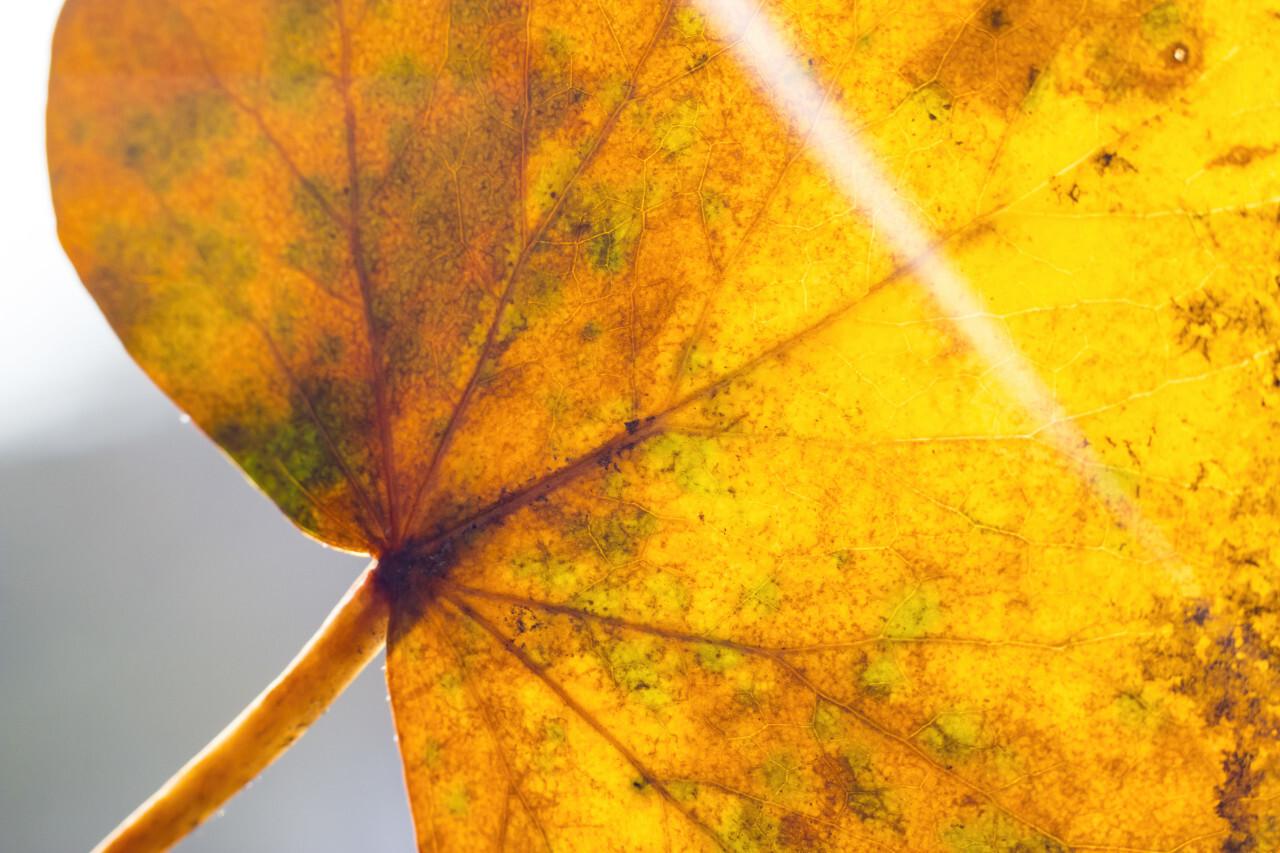 yellow leaf macro sunbeam