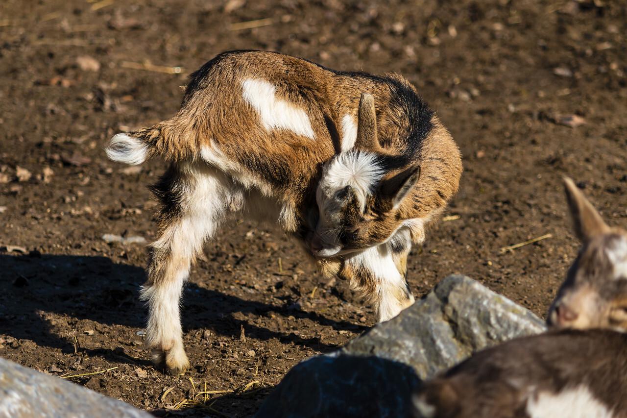 cute goat kid
