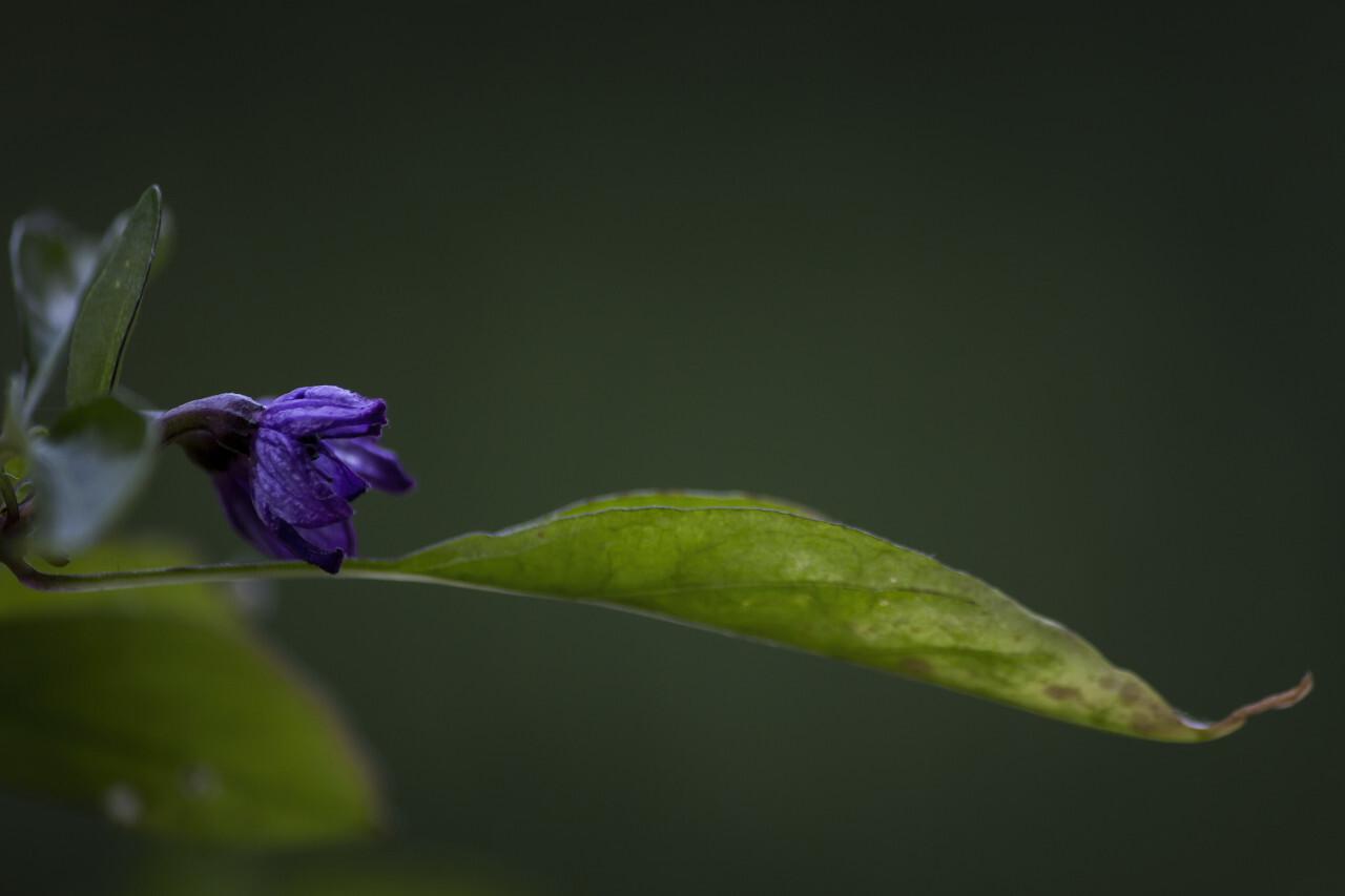 purple hungarian chili flower