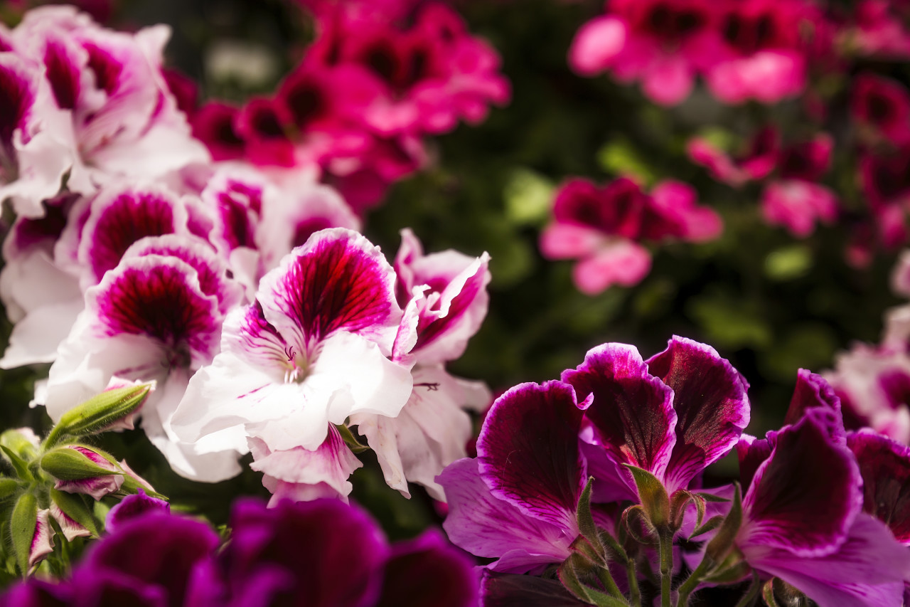 pink english geranium flowers