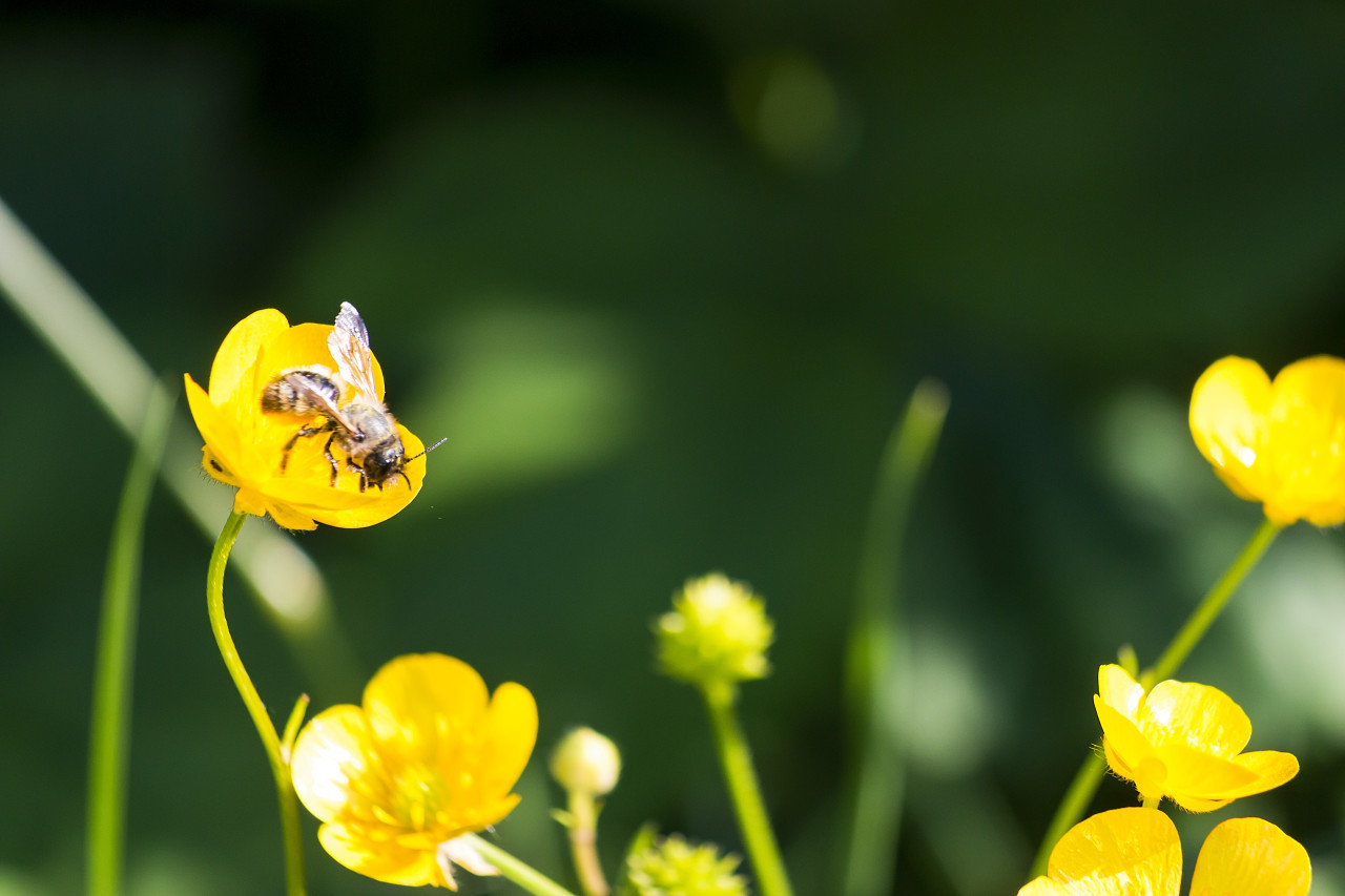 bee on a yellow buttercup