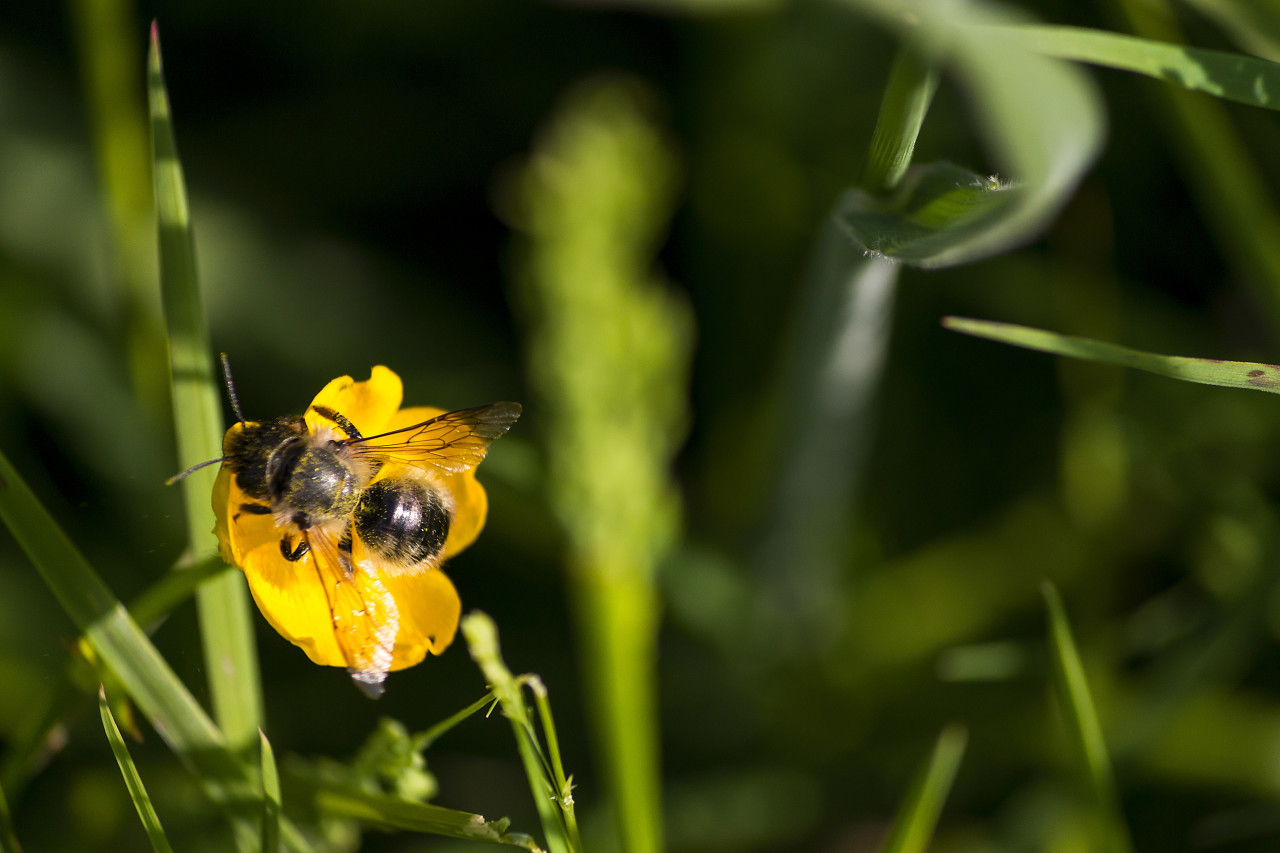 bee on a yellow buttercup flower
