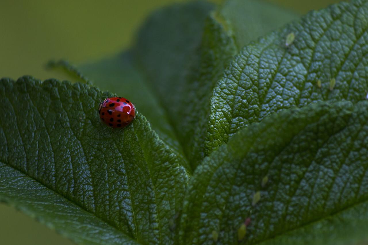 ladybird on rosehip leaf