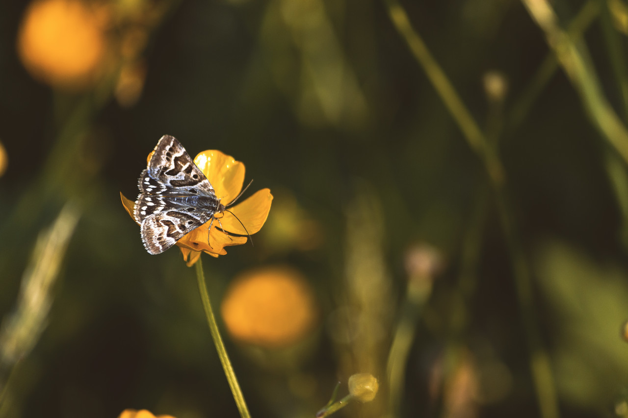 butterfly on a yellow flower, butterfly satyr