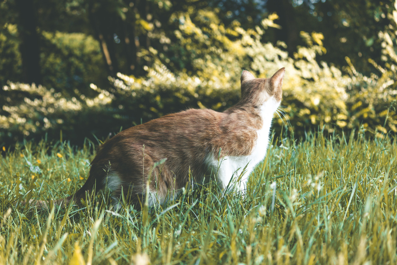 red cat on a meadow