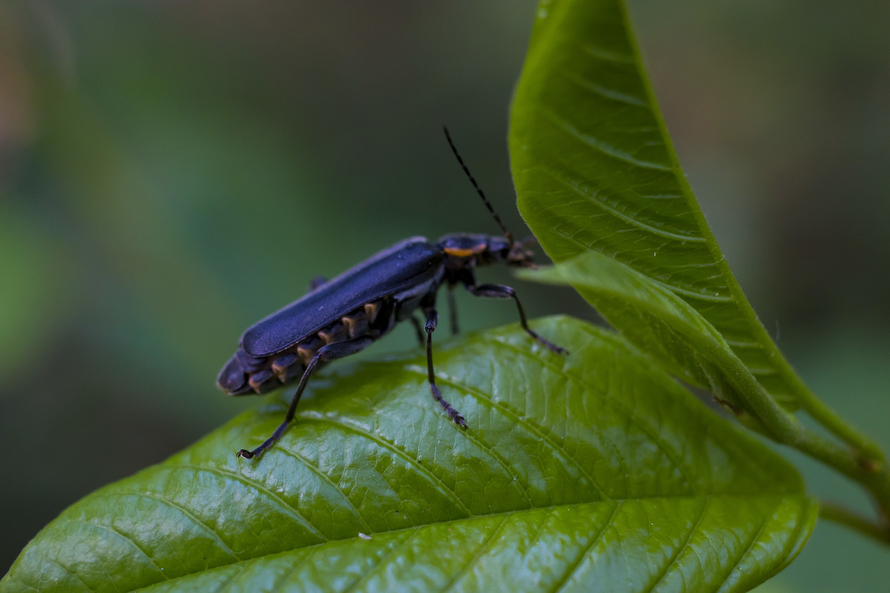 beetle on a leaf