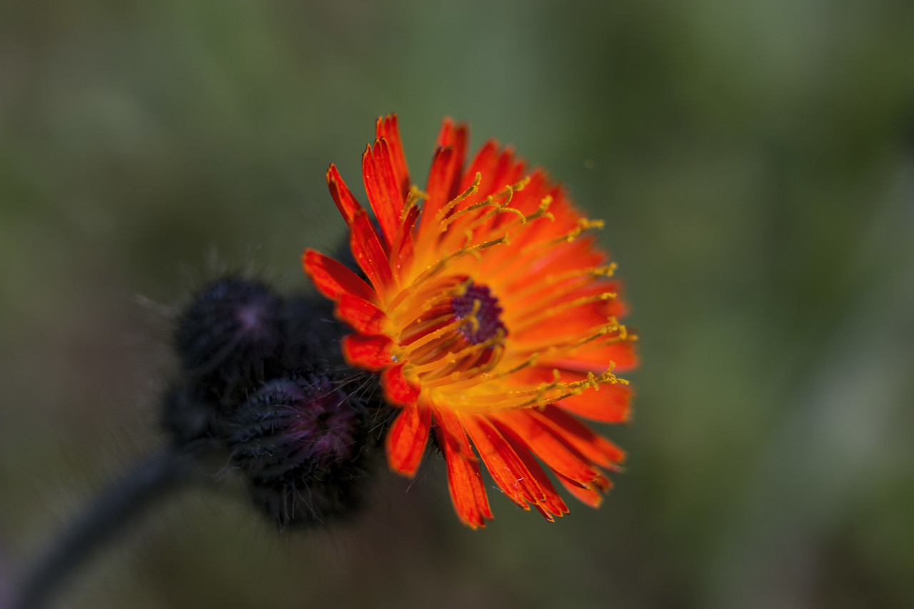 orange hawkweed flower