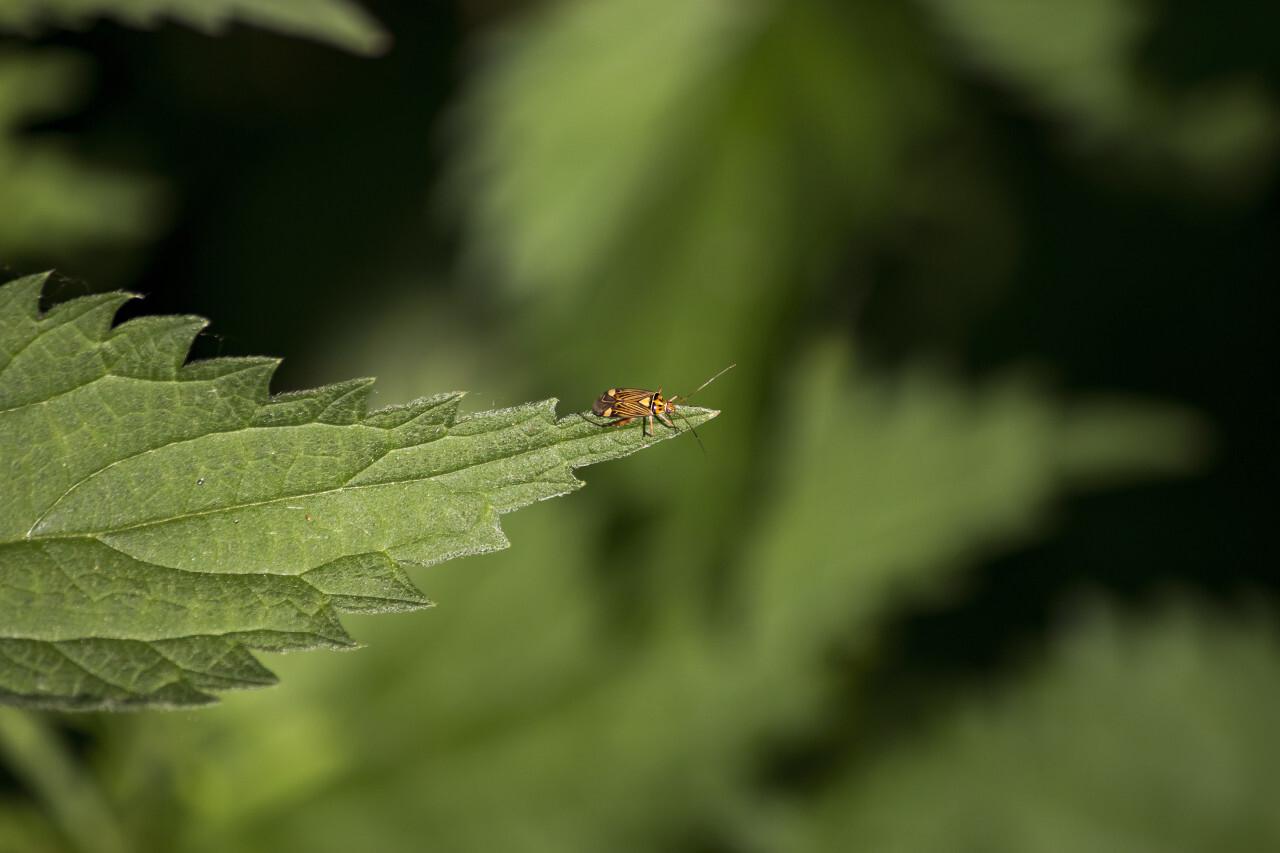 pretty beetle on nettle leaf