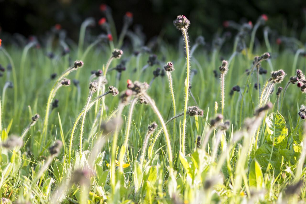 Wildflowers Hieracium pilosella