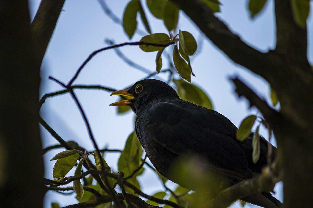 blackbird sings in the tree