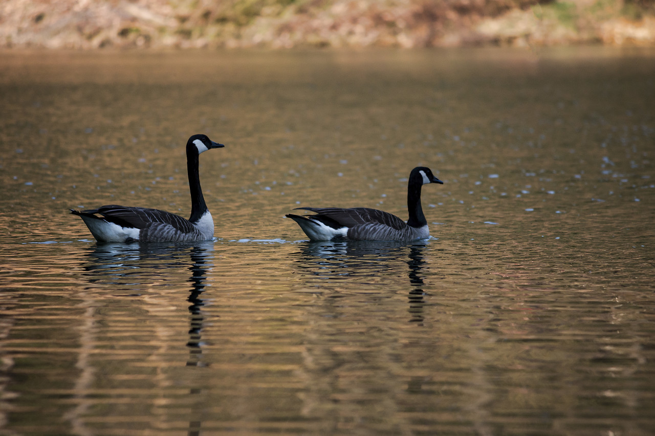 wild geese in the water