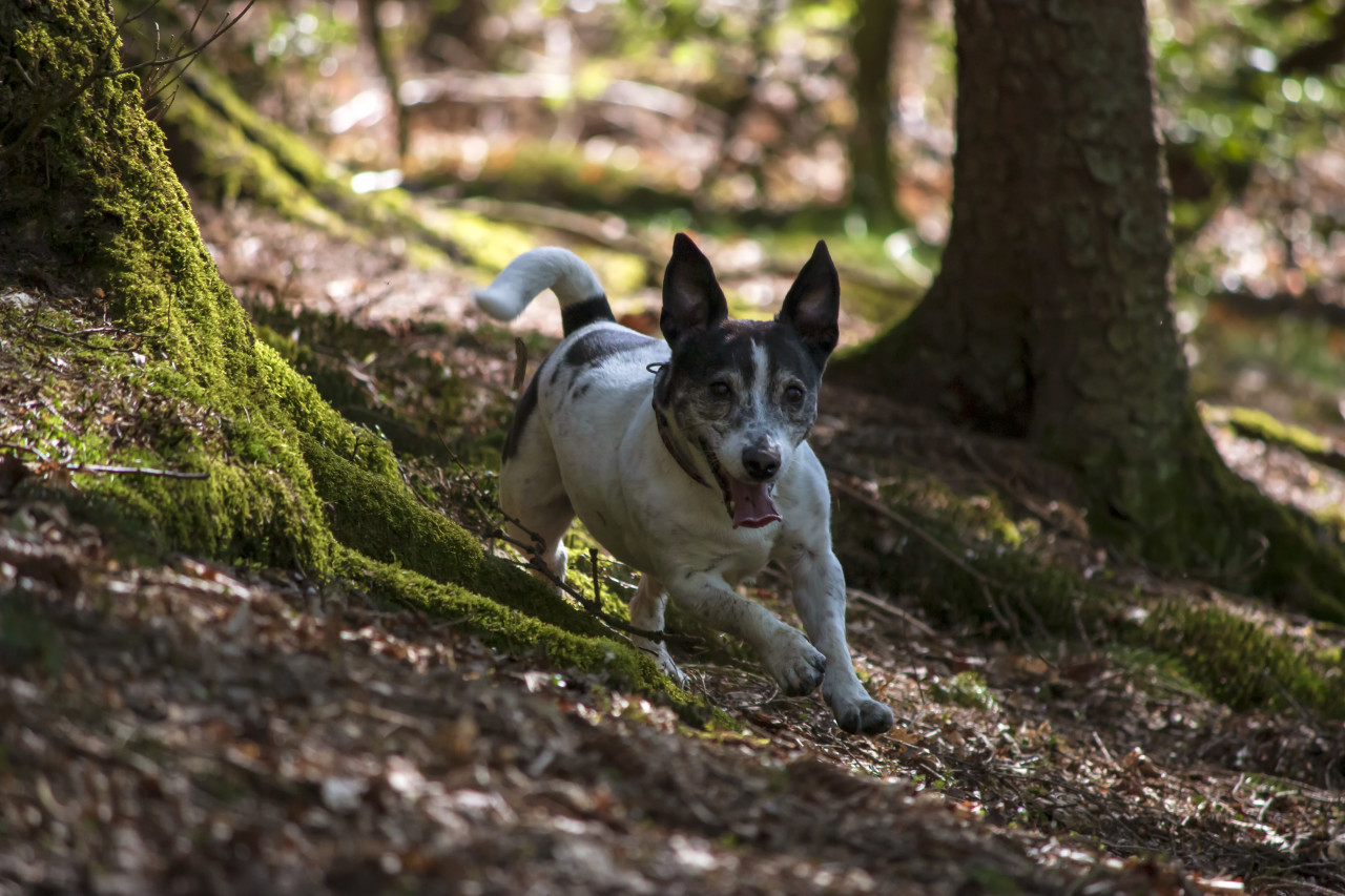 jack russell terrier runs in forest