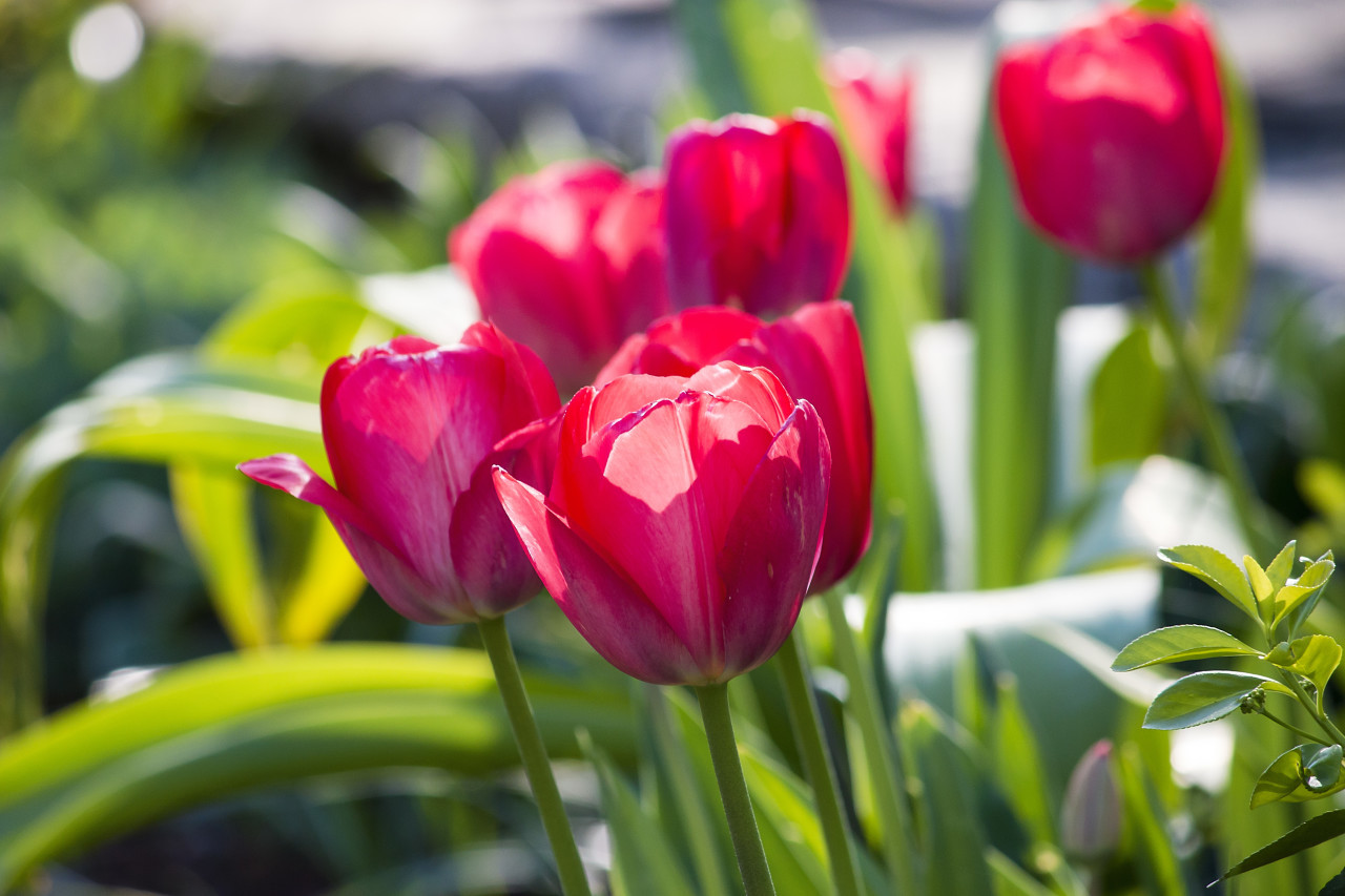 Field of pink tulips, Netherland
