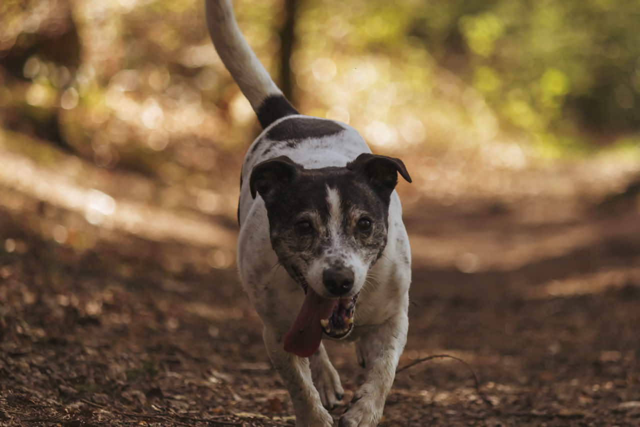 small dog runs through the forest