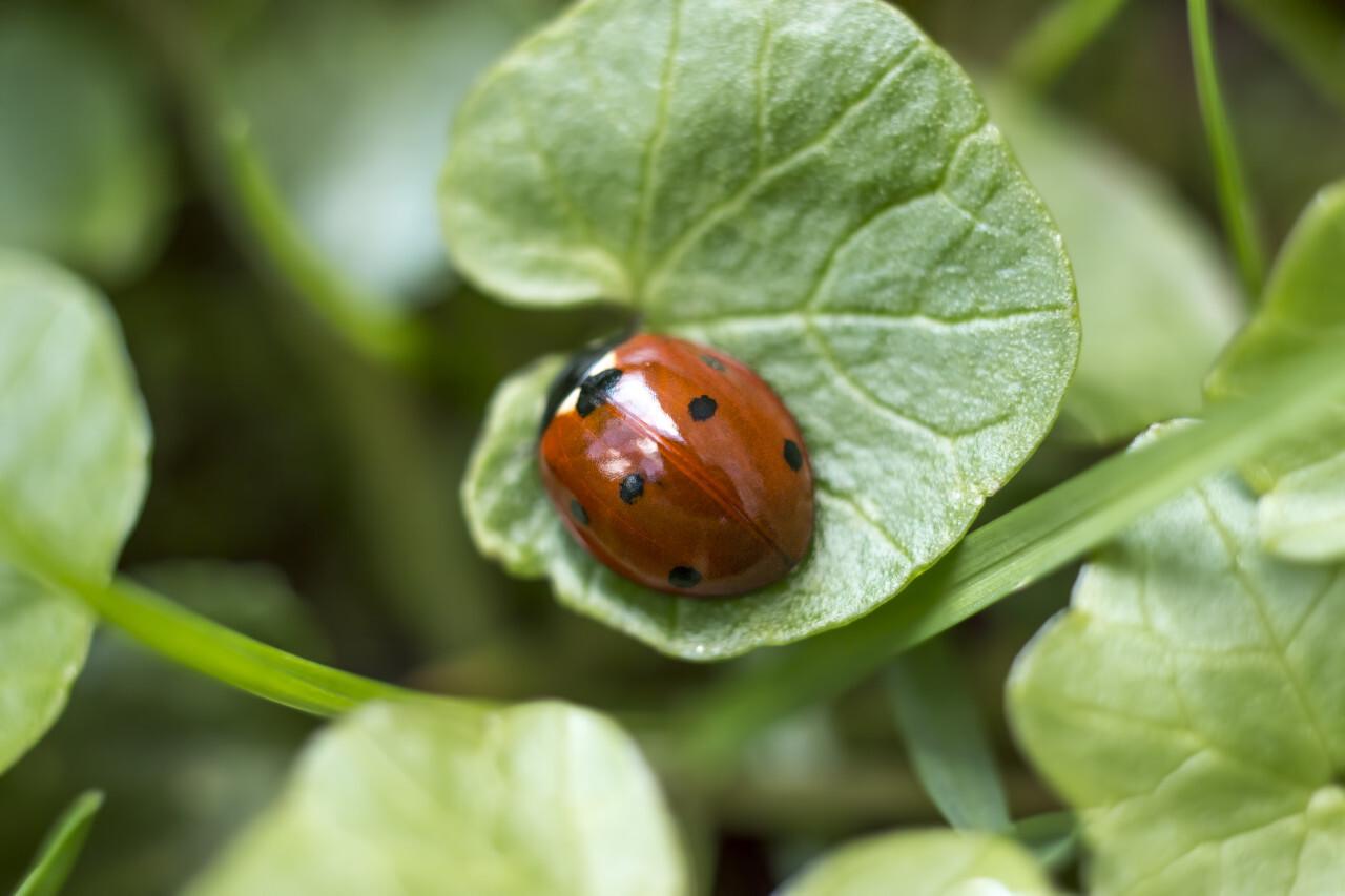 Ladybug on a green leaf close up
