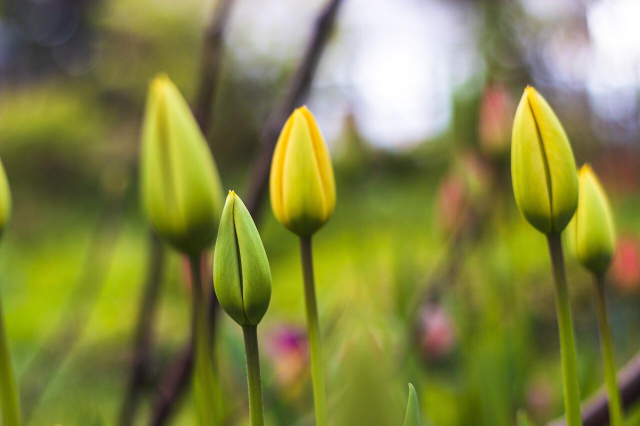 beautiful yellow tulips closed blossom