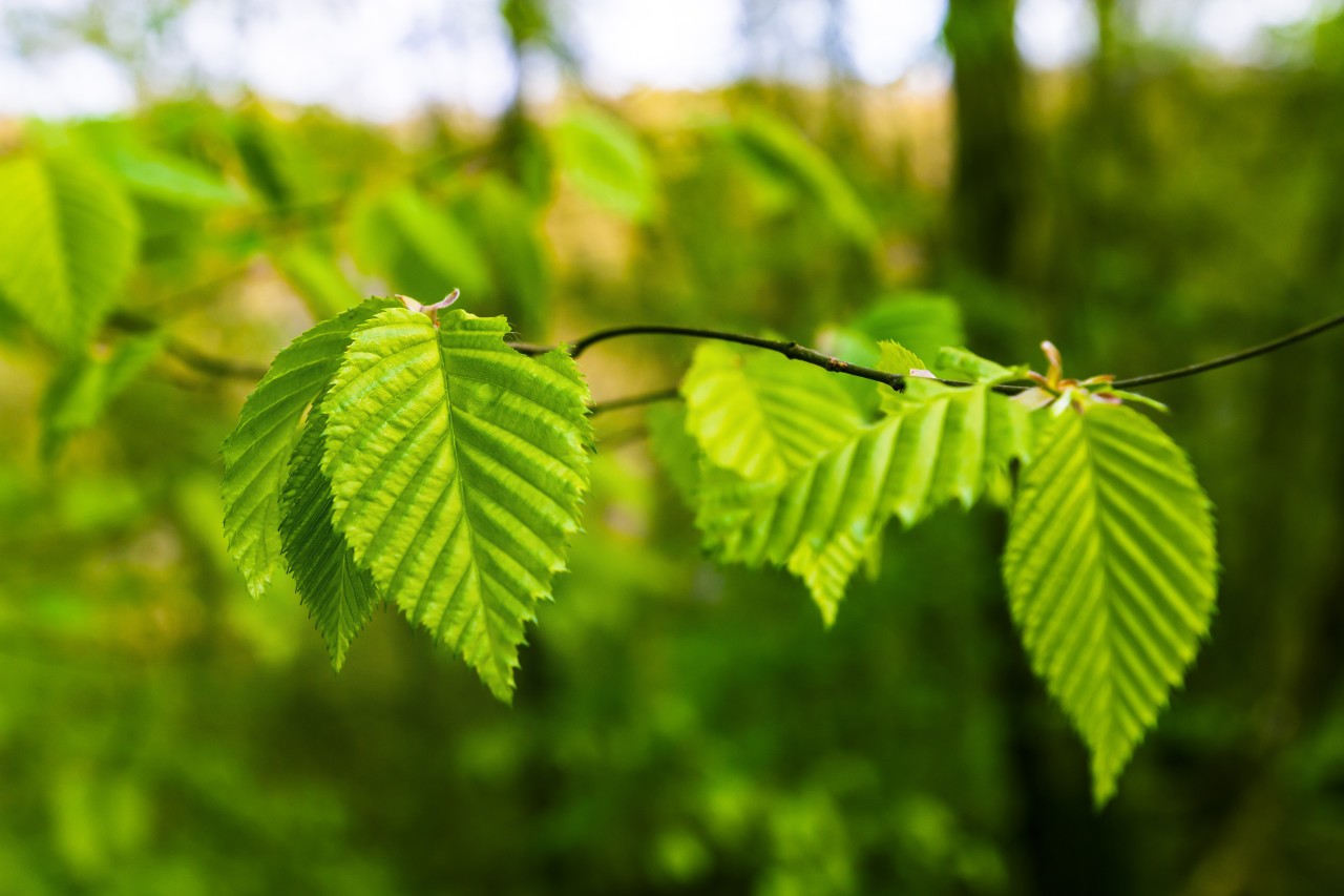 beech leaf in spring