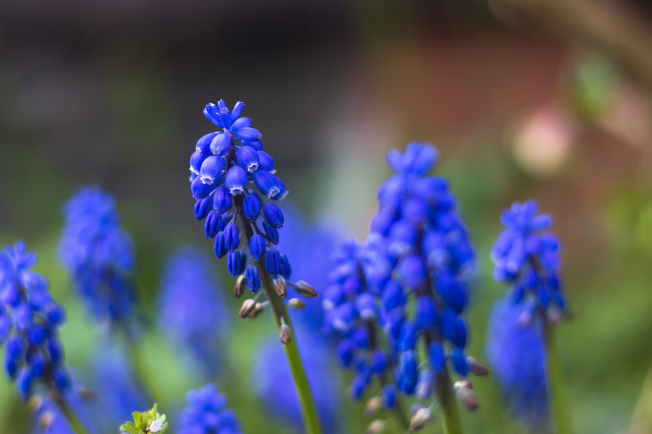 blue hyacinths flowers