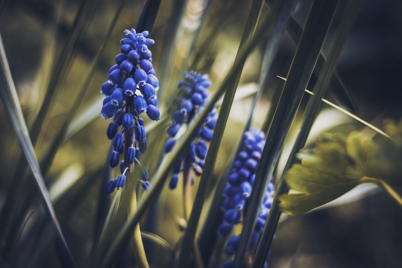 blue hyacinths flowers dark edit background