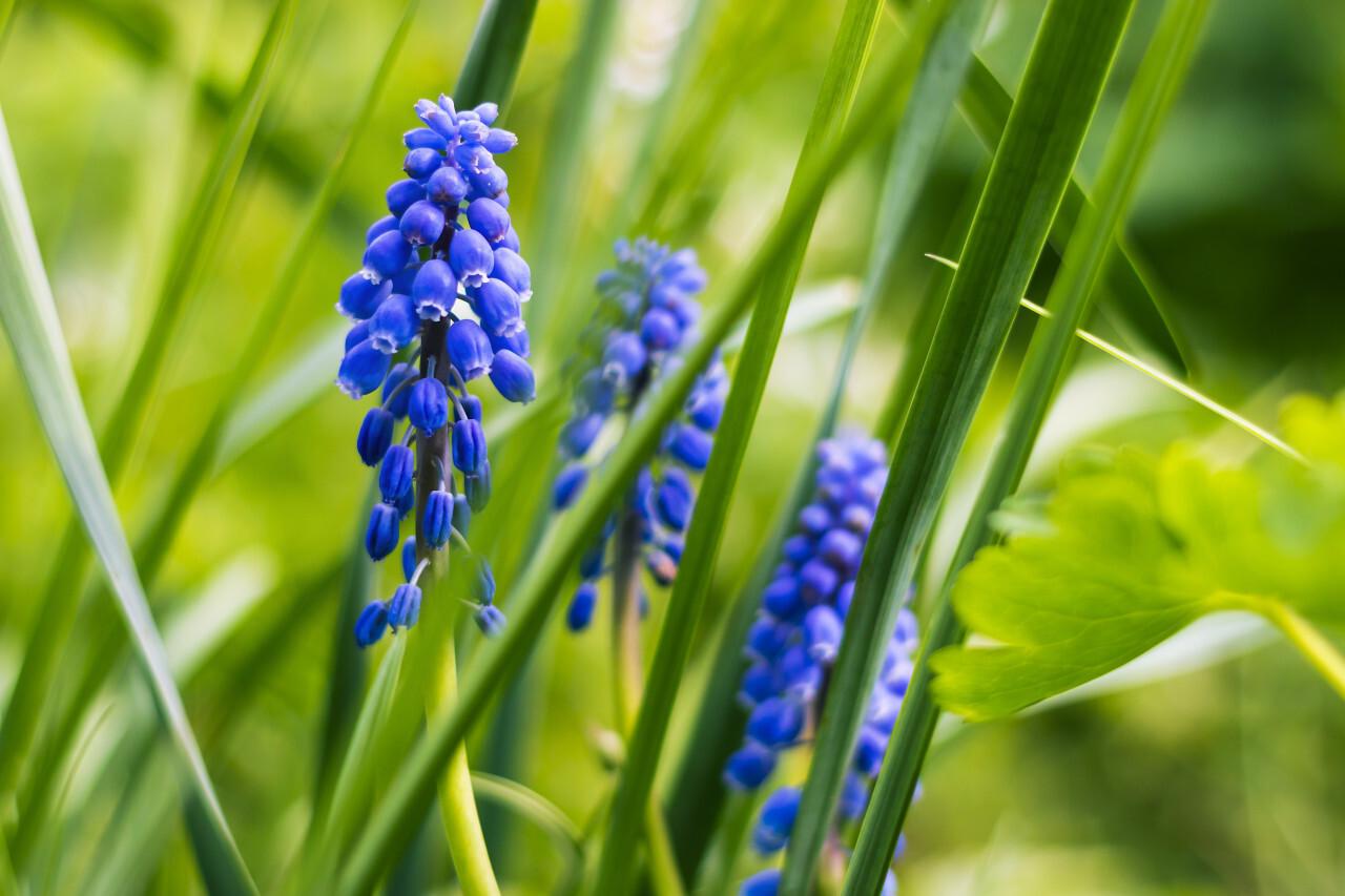 blue hyacinths flowers green background
