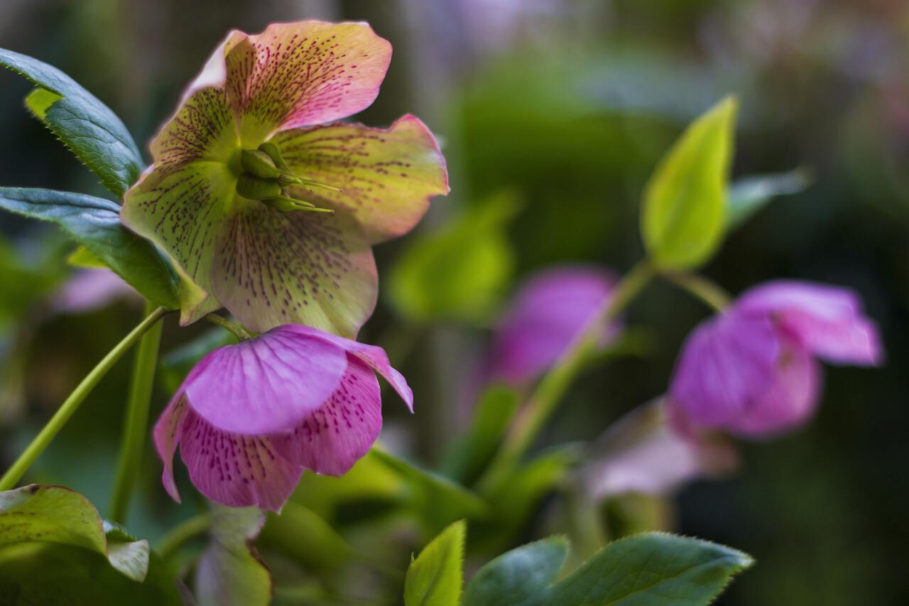 Pink Hellebore (Helleborus niger) flowers in the garden