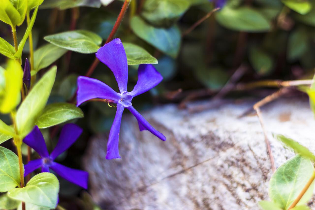 Vinca minor lesser periwinkle ornamental flowers in bloom