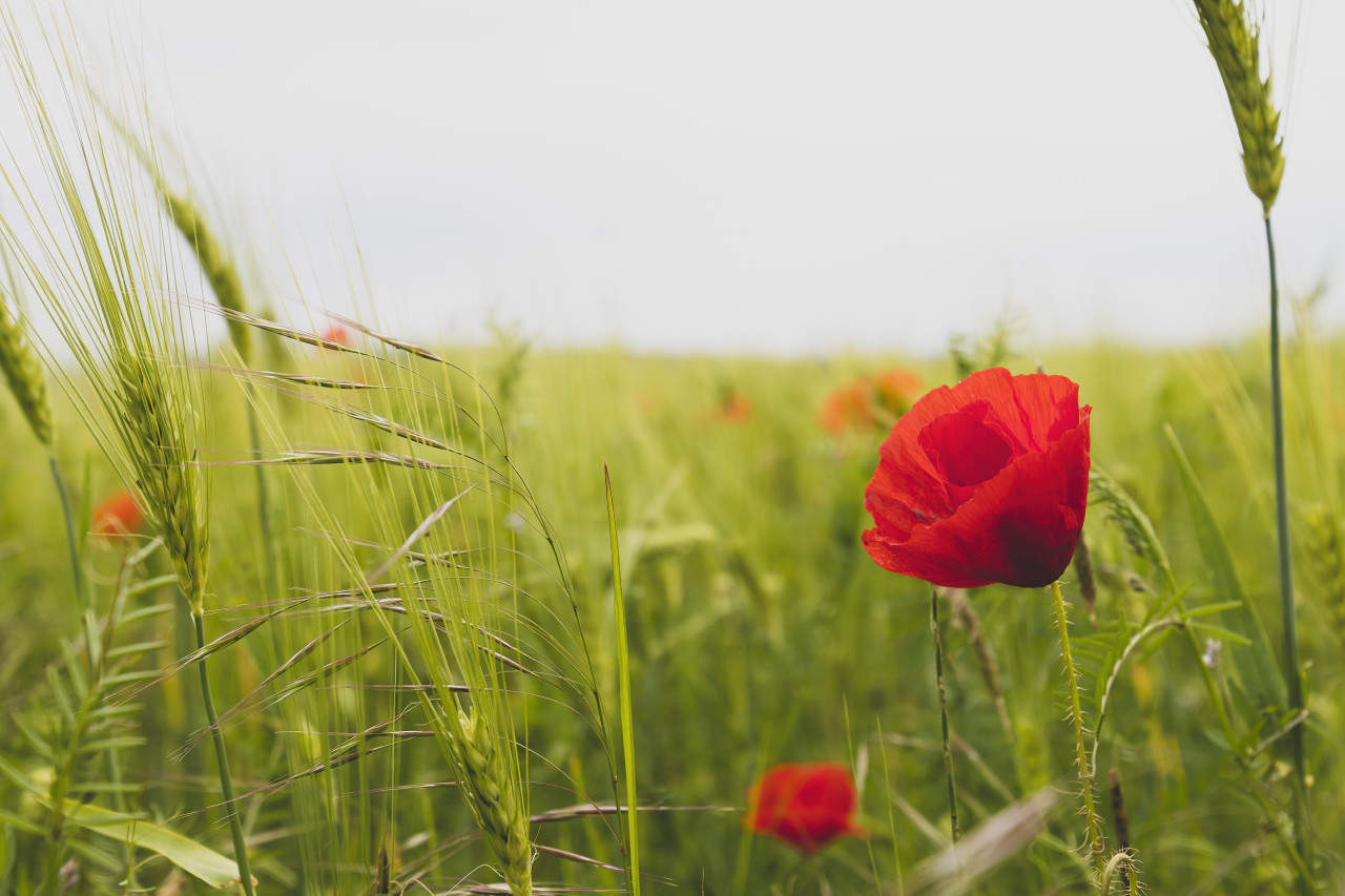 beautiful common red poppy flower on a german field