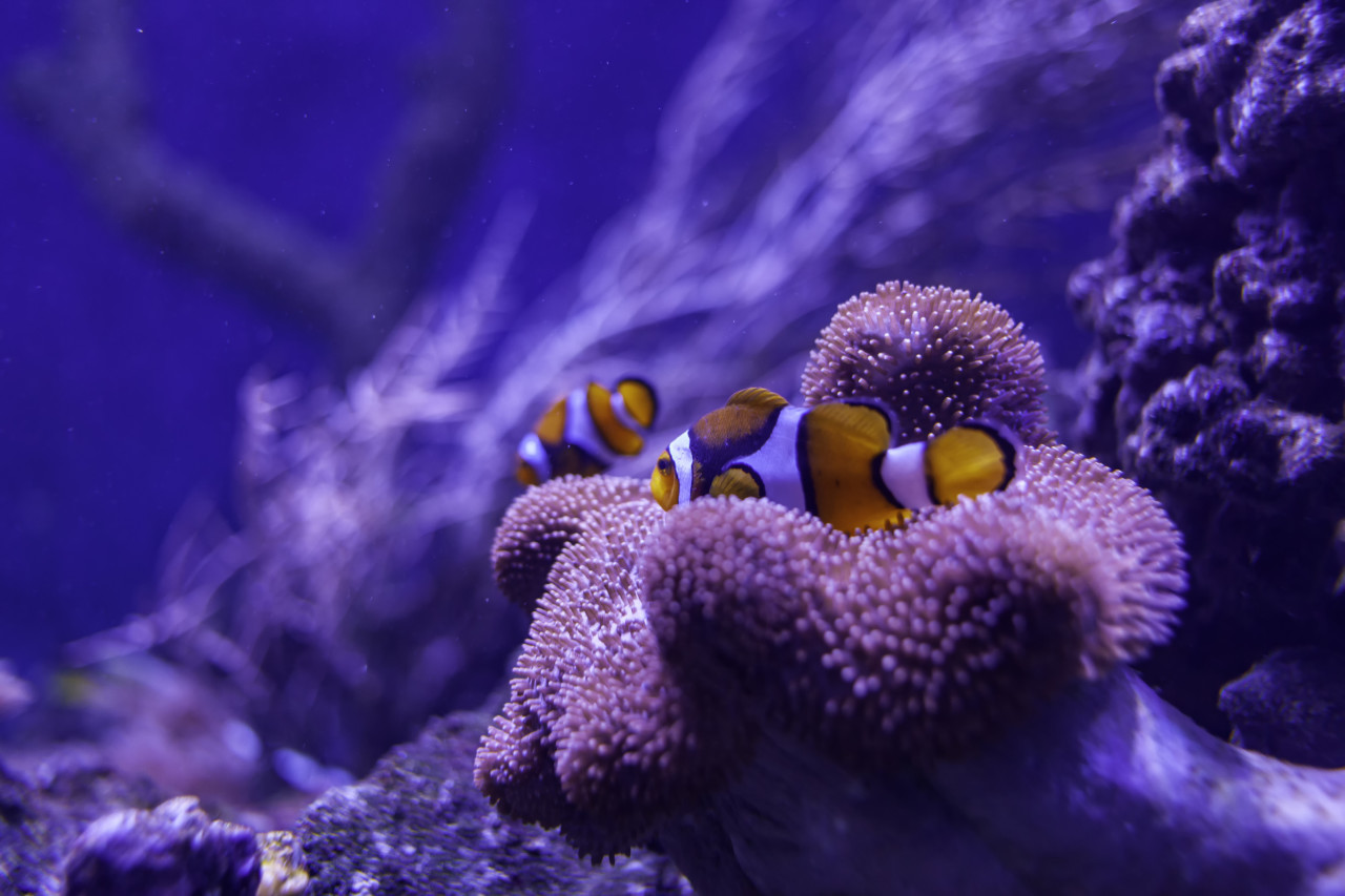 Two Clown fish on a coral