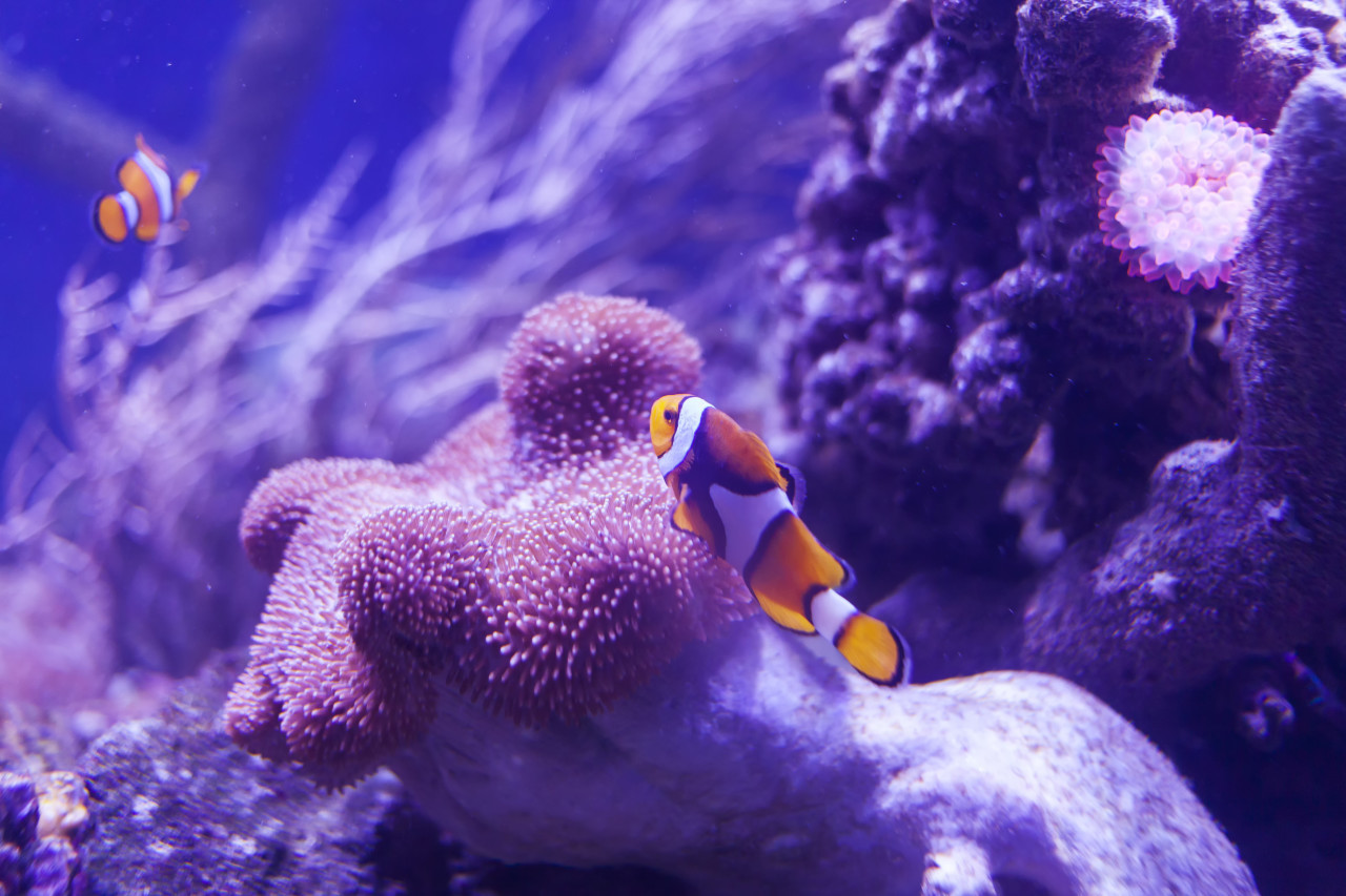Clown fish on a coral