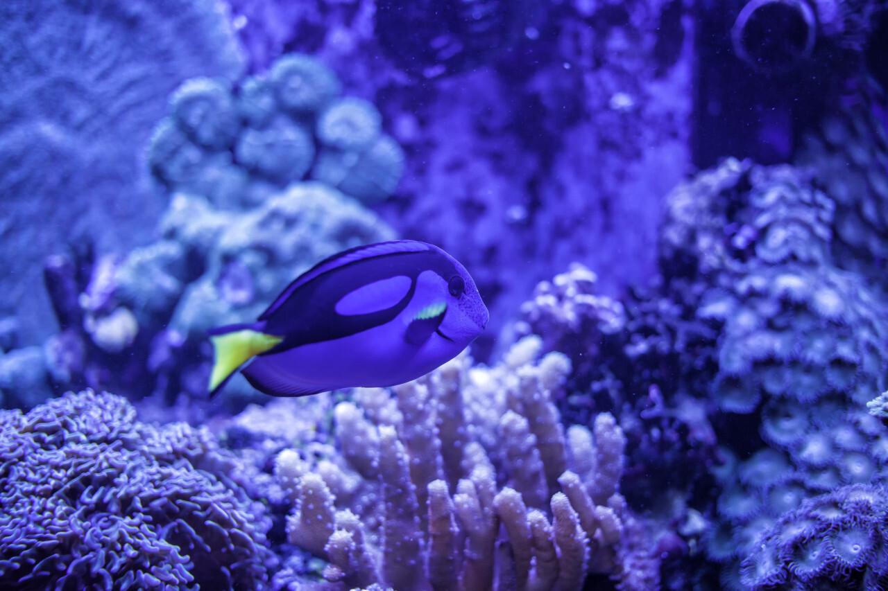 Power Blue Surgeonfish or Blue Tang