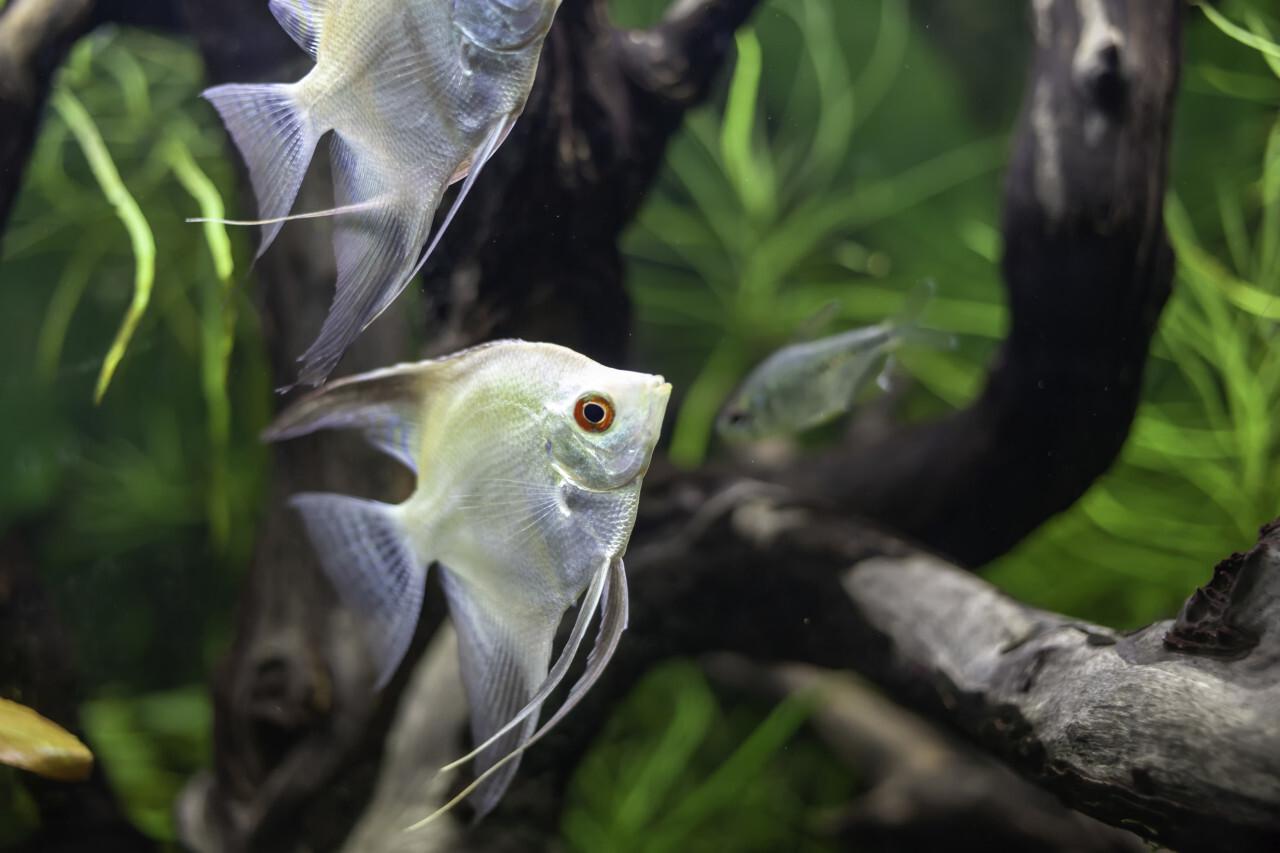 Freshwater Angelfish Pterophyllum Scalare Platinum - White Scalare Fish