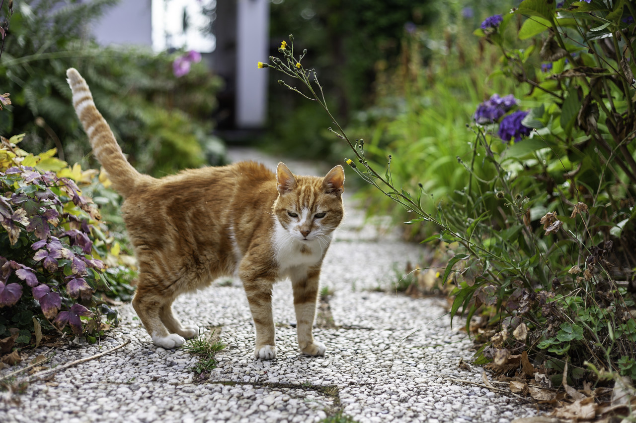 cute red old cat in the garden