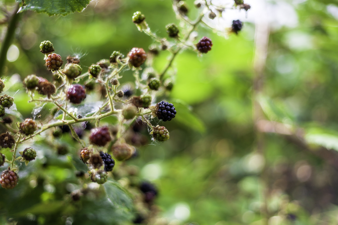 wild blackberries in summer