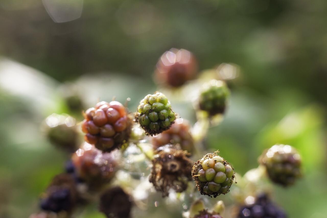 wild blackberries in summer