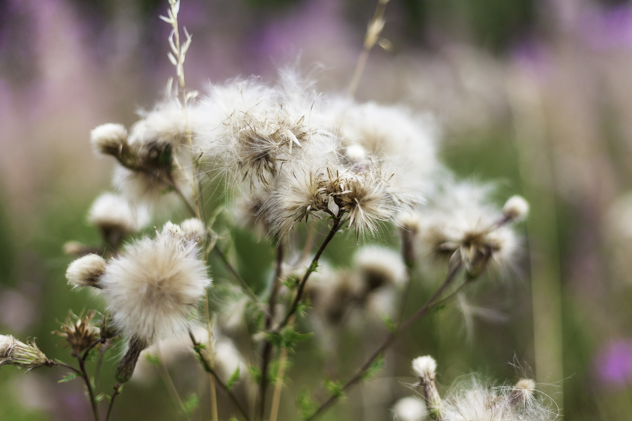 withered white thistles