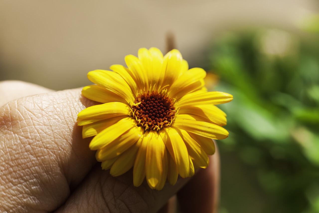 yellow flower between fingers