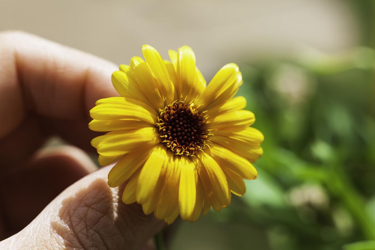 yellow flower between fingers macro