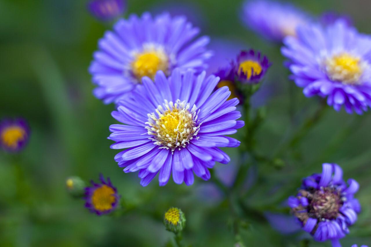 purple felicia amelloides flower