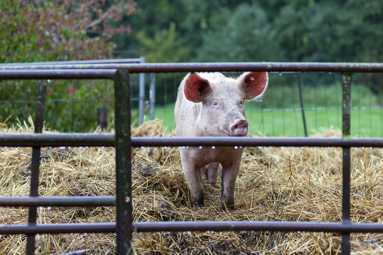 Pig in the Stable