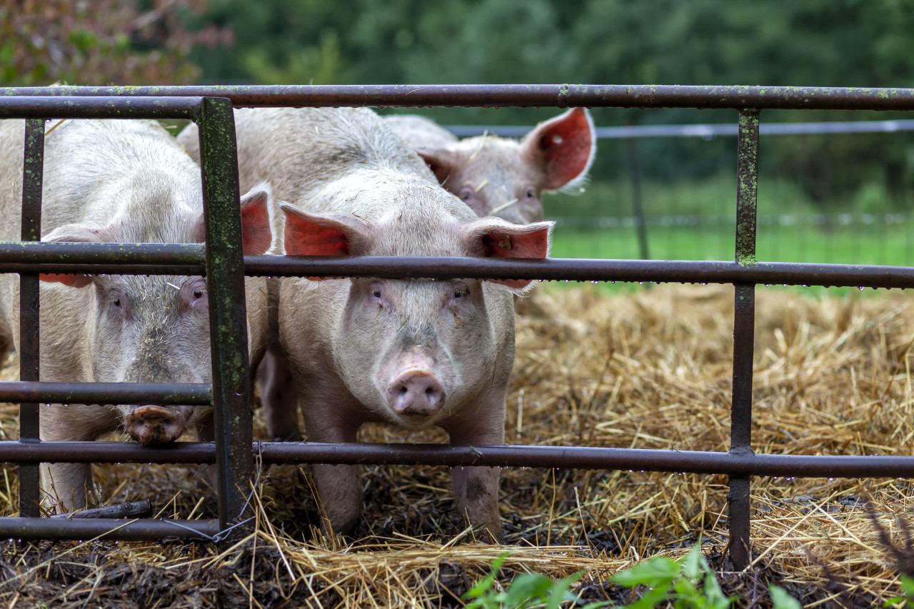 Pigs in the stable on a organic farm
