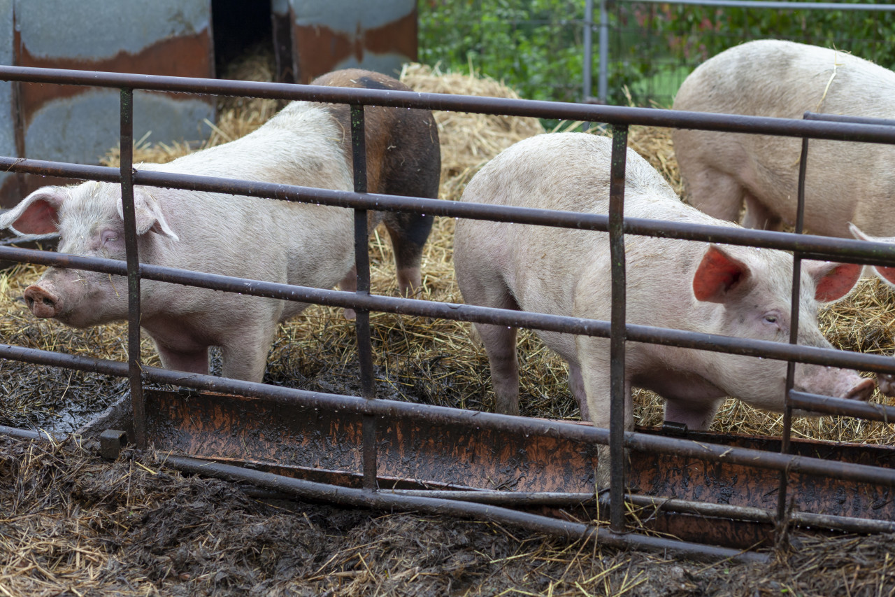 Young pigs behind bars on a farm