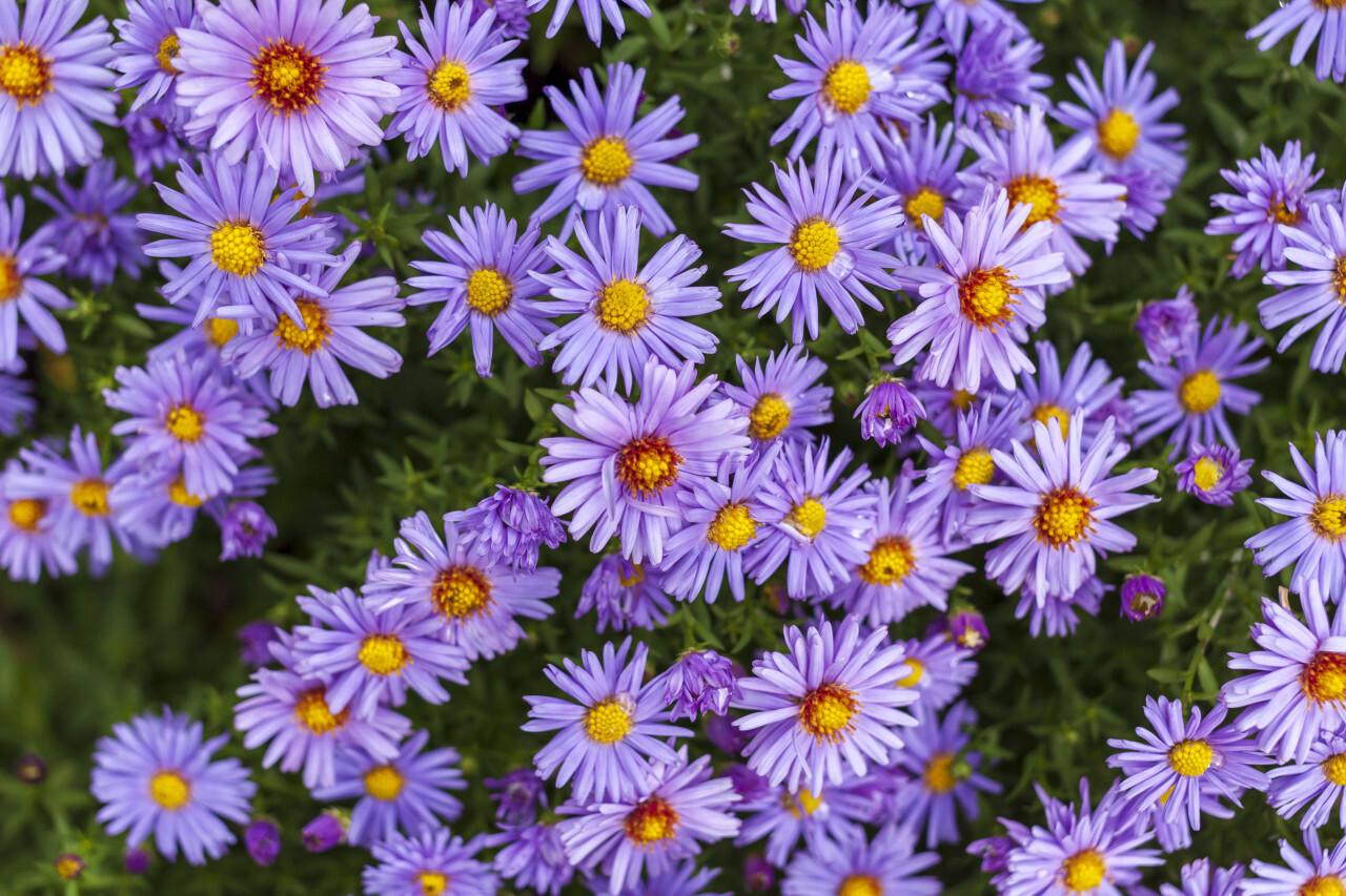 purple felicia amelloides flowers