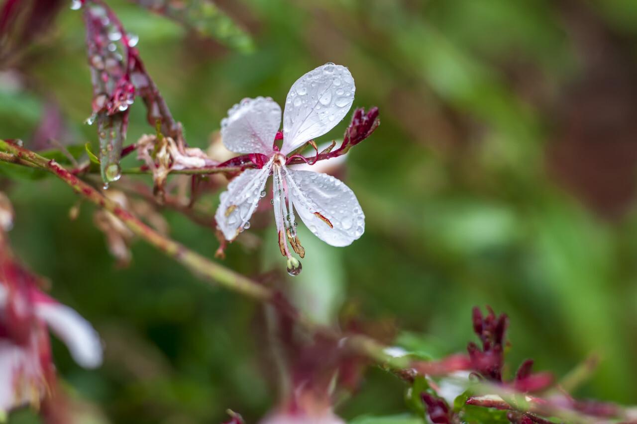 fireweed blooming in rain
