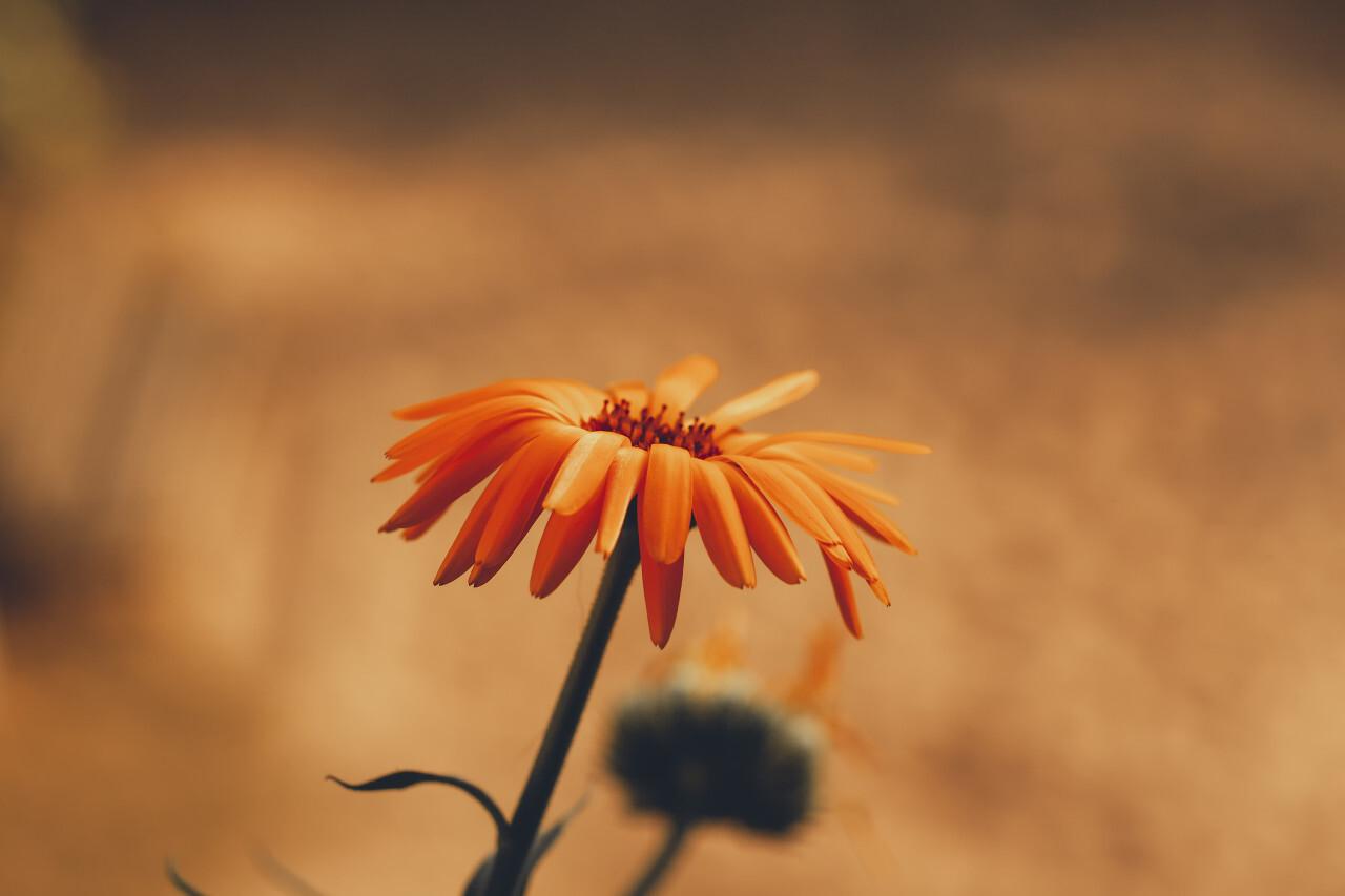 beautiful orange daisy flower and nice bokeh