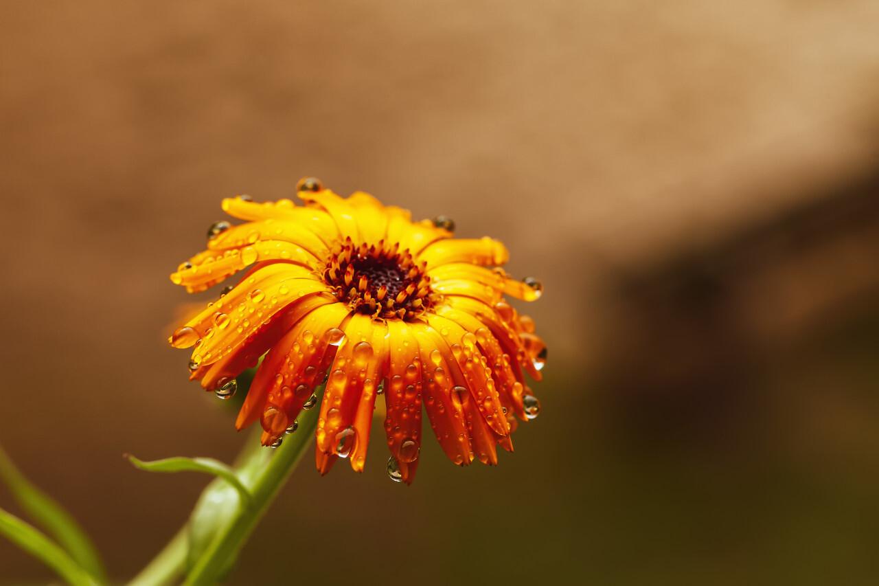 raindrops on a yellow daisy flower after rain